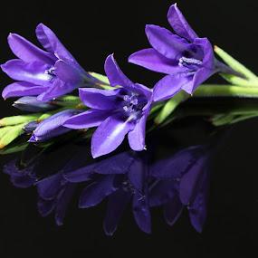 Babiana by Simon Hall - Flowers Flower Arangements (  )
