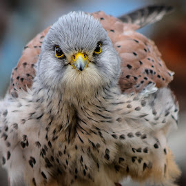 Haggerston Kestrel by Garry Chisholm - Animals Birds ( bird, garry chisholm, nature, wildlife, prey, raptor, kestrel )