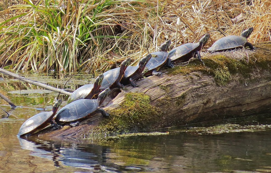 turtle convention on log #3 by Carol Olejnik - Animals Reptiles ( marsh, turtle, log, sunning )