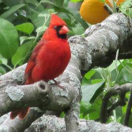 Mr. Red by Debra Rebro - Novices Only Wildlife (  )