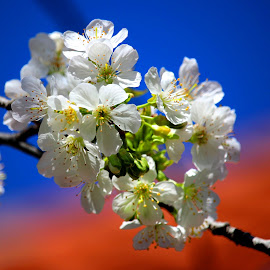 by Carmen Baltianu - Flowers Tree Blossoms