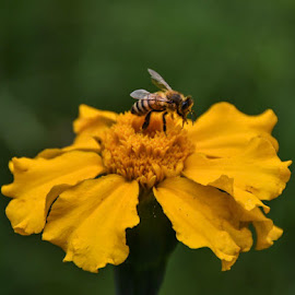 Bee happy by Angela Taya - Novices Only Flowers & Plants