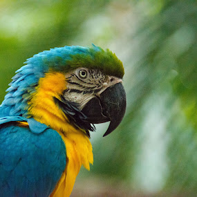 Parrot by Steven Greenbaum - Animals Birds ( zoo, colorful, parrot, beak, birds )