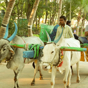 Peaceful Ride by Sandip Roy - City,  Street & Park  Street Scenes ( ride, buffalo, peaceful, park, cow, transportation, people, street photography )