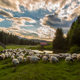 A flock of sheep in the Spring time by Stanislav Horacek - Landscapes Prairies, Meadows & Fields