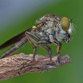 the Robberfly with prey by Herman Wong - Animals Insects & Spiders