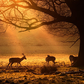 Fallow deer at sunrise by Linda Kent - Animals Other Mammals ( fallow deer sunrise frosty morning )