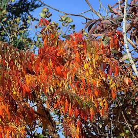 Fall Fire by Tony Huffaker - Nature Up Close Trees & Bushes ( autumn, colors, fall, leaves, fire )