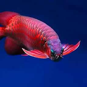 Arowana 2 by Jeffry Surianto - Animals Fish