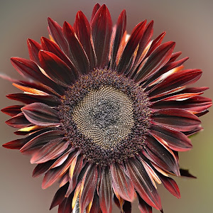 Red Sunflower Pixoto.jpg