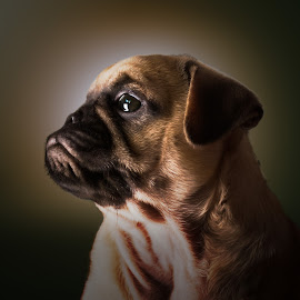 Pug puppy Bellatrix by Malcolm Hare - Animals - Dogs Portraits