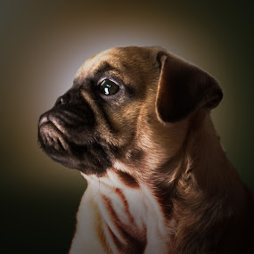 Pug puppy Bellatrix by Malcolm Hare - Animals - Dogs Portraits (  )