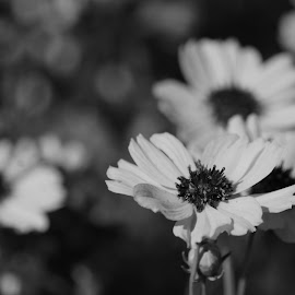 Black and white flowers by Brenda Shoemake - Black & White Flowers & Plants (  )