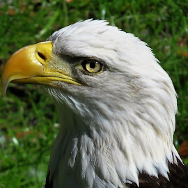 by Mary Gallo - Animals Birds ( bird, eagle, bald eagle, animal )