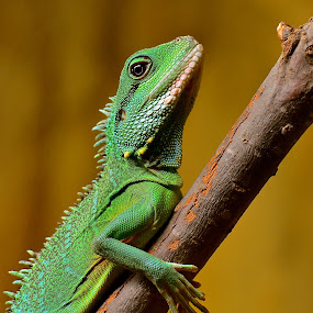 Zoo Dragon2 by Mauritz Janeke - Animals Reptiles ( zoo, dragon, mauritz, abu dhabi, reptile,  )