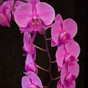 Orchid by Bojan K - Flowers Single Flower ( arrangament, orchid, blooming, waterdrops, flower,  )