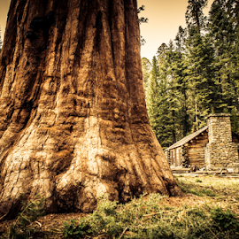 Feeling very small by Johannes Oehl - Nature Up Close Trees & Bushes ( cabin, national park, wilderness, america, yosemite, sequoiadendron giganteum, california, mariposa grove, sequoia, forest, house, usa, redwood, united states of america )