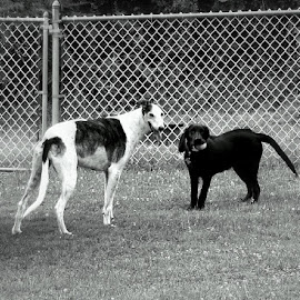 What  by Clare Suhanich - Animals - Dogs Playing