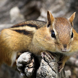 Sunday's Best 30 by Terry Saxby - Animals Other Mammals ( canada, terry, chipmunk, goderich, ontario, saxby, nancy )