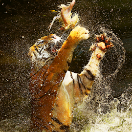 Catch the Bait by Joshua Sujasin - Animals Lions, Tigers & Big Cats ( panthera tigris, mammals, feeding time, vertebrae, animal )