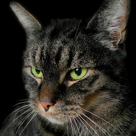 Green2 by Laroy Rony - Animals - Cats Portraits