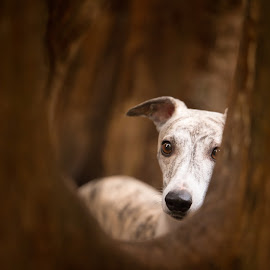 Fay  by Magdalena Sikora - Animals - Dogs Portraits ( tree dog, dog portraits, whippet )
