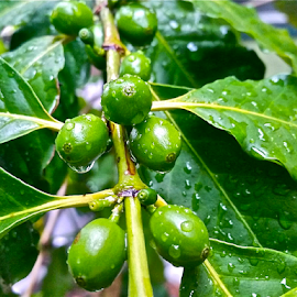 { Coffee Beans Ripening on the tree ~ 30 July }  by Jeffrey Lee - Nature Up Close Gardens & Produce ( { coffee beans ripening on the tree ~ 30 july } )