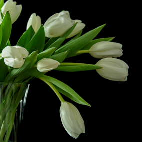 Pure White by Jill Beim - Flowers Flower Arangements ( still life, white, tulips, flowers )