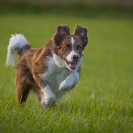 Goofy-face  by 'Monique Smit - Animals - Dogs Running ( collie, bordercollie )