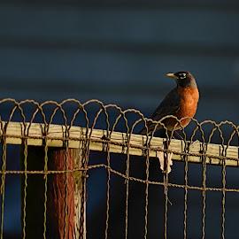 Robin on the Fence by Karen Hardman - Animals Birds