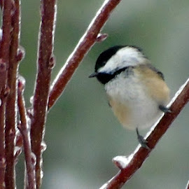 LITTLE CHICK by Cynthia Dodd - Novices Only Wildlife ( bird, wild life, nature, black-capped chickadee, cicha )