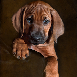 Ridgeback Puppy 7 Weeks Old by Linda Johnstone - Animals - Dogs Puppies ( puppy paws, studio, ridgeback, rhodesian ridgeback, puppies, textured, texture, beauty dish, puppy, paws, cute, puppy portrait )