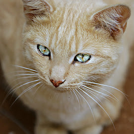 Sparkling Eyes by Pieter J de Villiers - Animals - Cats Portraits
