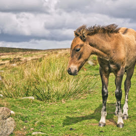 Dartmoor Pony by Alex Graeme - Animals Horses ( pony, horse, dartmoor )