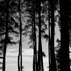 Among the Pines by Ridwan Handoyo - Landscapes Forests ( bw, gunung pancar, travel )