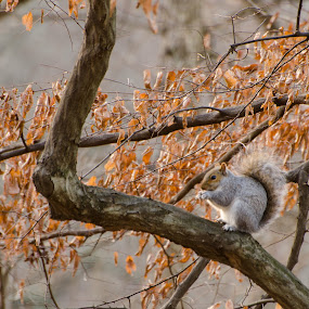 Found my nut by Mark Lendacky - Animals Other Mammals ( fluffy, tree, nature, leaf, squirrel )