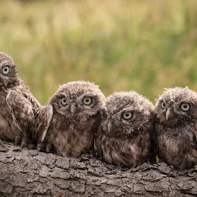 Shooting by Jürgen Sprengart - Animals Birds ( young four, kids, birds, owls )