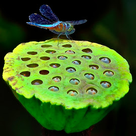 Blue dragonfly on green lotus pod by Francois Wolfaardt - Nature Up Close Other Natural Objects ( contrast, macro, lotus, nature, blue, green, seeds, insect, dragonfly, pod )