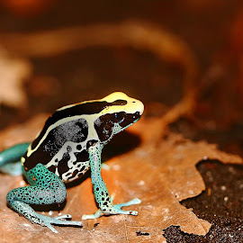 Dendrobate tricolor by Gérard CHATENET - Animals Amphibians