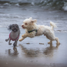 Fun day at the beach by Brent Morris - Animals - Dogs Playing