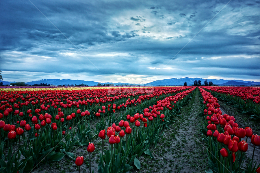 Skagit Valley  by Todd Reynolds - Flowers Flower Gardens ( field, tulip, morning, landscape )