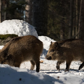 by Dušan Gajšek - Animals Other ( divja svinja, živali, bavarski gozd, narava )