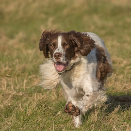 Race on.... by Janet Packham - Animals - Dogs Running ( playing, dogs, spaniel, pet, happy, fun, running )