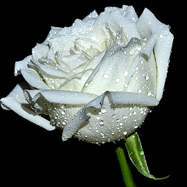 white rose by Hafiz Ursa - Nature Up Close Gardens & Produce ( black background, rose, water drops, romantic flower, white rose, nikon d3100, fresh flower, solid background, flower )