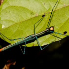 Stick Insect, Phasmid - Male