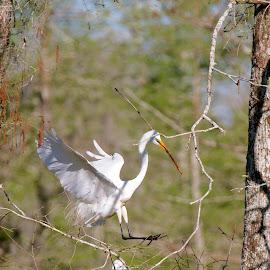 Carry a big stick by Zeralda La Grange - Digital Art Animals ( #bird, #nature, #heron, #animal, #nesting )