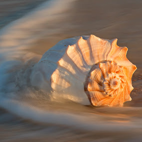 Conch Shell and water by Jack Nevitt - Uncategorized All Uncategorized ( water, shell, warm, sea creatures, underwater life, ocean, beach, blur, pretty, ocean life, shutter, wave, slow, motion, classic )
