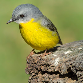 Eastern Yellow Robin by Cathi Duck - Animals Birds ( sunny, watchful, yellow, picnic table, nationalpark )