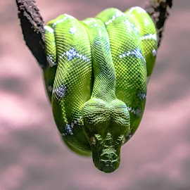 Emerald Tree Boa by Jackie Nix - Animals Reptiles ( wild animal, corallus caninus, eve, emerald green, scales, green, garden of eden, stripes, satan, rainforest, serpent, snake, non-venomous, zoo, emerald tree boa, south america, zoology, head, reptile, biblical, animal )