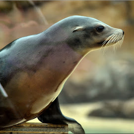 by Nic Scott - Animals Sea Creatures ( sea lion, animal,  )